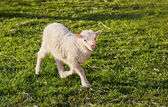 A cute lamb — Stock Photo