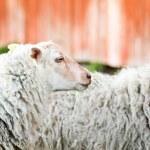 Waiting sheep — Stock Photo