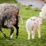 Lamb beside mom — Stock Photo