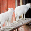Two lambs going inside — Stock Photo
