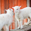 Two lambs — Stock Photo #10505219