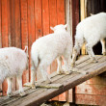 Three lambs in a row — Stock Photo #10505229