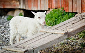 Cute lamb behind a wooden board — Stock Photo