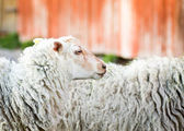 Waiting sheep — Stock Photo