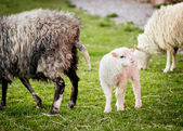Lamb beside mom — Stock Photo
