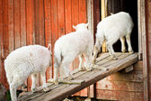 Three lambs in a row — Stock Photo