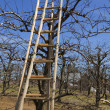 Stock Photo: Ladder in orchard