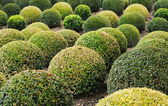 Row of green round boxwood — Stock Photo