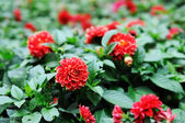 Detail of red chrysanthemum bush — Stock Photo