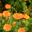 California poppy — Stock Photo