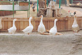 Gaggle of white geese in Kyiv Zoo, Ukraine — Stock Photo