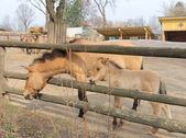 Przewalski's horse in the Kyiv Zoo, Ukraine — ストック写真