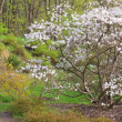 White magnolia tree in spring park — Stock Photo