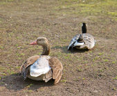 Two ducks sitting on the ground — Stock Photo
