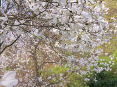 Blossoming of magnolia tree in spring time — Stock Photo