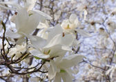 Close up of magnolia flowers in springtime — Stock Photo