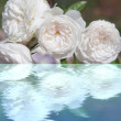 White rose with reflection in the water — Stock Photo