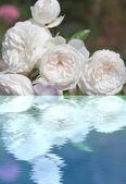 水の反射とホワイト ローズ — ストック写真