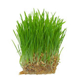 Sprouts of a young green grass. Isolated on white background — Stock Photo