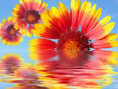 Beautiful red and yellow gerber flowers and reflection — Stok fotoğraf