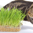 Tabby cat and grass on white background — Stock Photo
