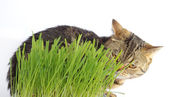 Tabby cat in grass on white background — Stock Photo