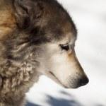 Wolf — Stock Photo #10109901