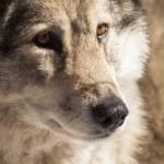 Wolf — Stock Photo #10109913