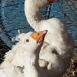 White Geese — Stock Photo #10430234