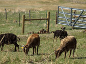 Soay Sheep — Stock Photo