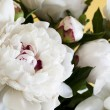 White Peonies — Stock Photo