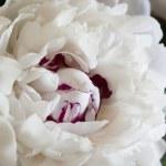 White Peonies — Stock Photo