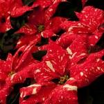 Christmas Plant — Stock Photo