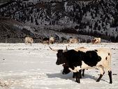 Longhorn du Texas — Photo