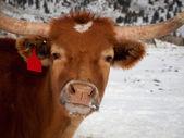 Texas Longhorn — Stockfoto