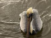 Brown Pelican — Foto Stock