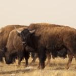 Buffalo Ranch — Stock Photo #9777226