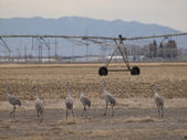 Sandhill Cranes — Stock Photo