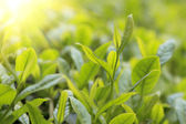 Close-up green tea bud and leaves in Tea plantations — Stock Photo