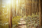 Mountain trail in the pine forest — Stock Photo