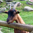 Goat in zoo — Stock Photo #10224948