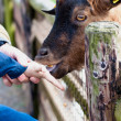 Child feeds goat at zoo — Stock Photo #10224960