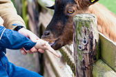 Child feeds goat at zoo — Stock Photo