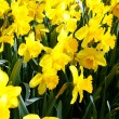 Yellow daffodils — Stock Photo #10547631