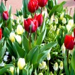 Flowers in a  flowerbed.  tulip - Stock Photo