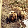 Stock Photo: Brown bears