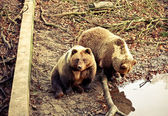 Brown bears — Stockfoto