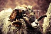 Ram. Sheef — Stock Photo