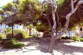 Tree. Majorca — Stock Photo
