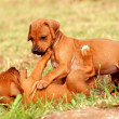 Stock Photo: Playing RhodesiRidgeback puppies
